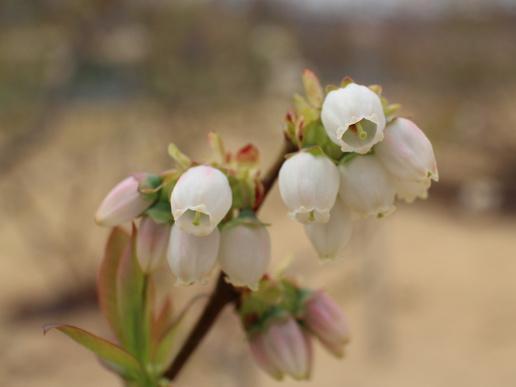 ブルーベリーシティつくば「ブルーベリーゆうファーム」白、ピンクの花が満開です!