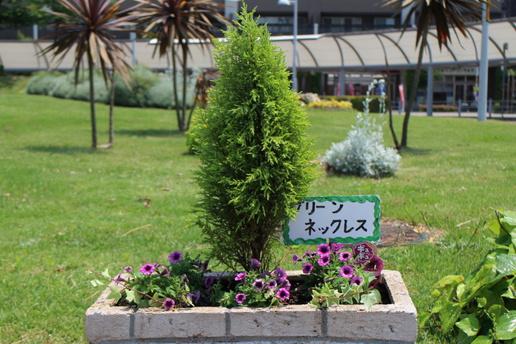 「タネのタキイ」ペチュニアギュギュ!研究学園駅前を華やかにします!