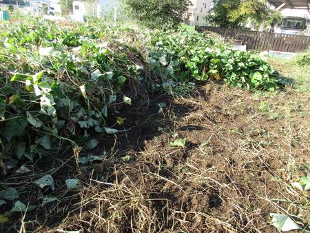 サツマイモがすっきり現れました!いよいよ来週収穫します!