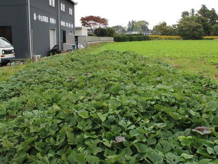 グリーンの会の畑のサツマイモを一緒に掘りませんか!