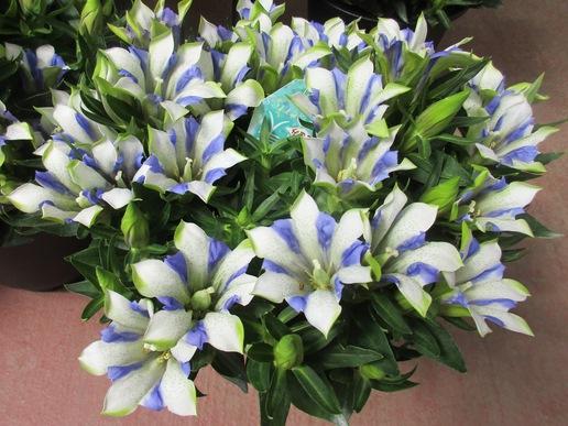 イーアスのお花屋さん「ウィズガーデン」で粋な青と白のストライプの花にひとめぼれ!!