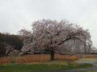 桜、桜、桜、研究学園はどこもかしこも満開です!