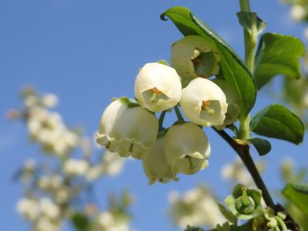【つくばのブルーベリー】小さく可憐な花が鈴なりに咲いています!
