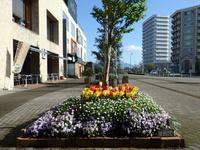 研究学園駅前ホテルベストランド入口のチューリップ素晴らしくきれいです!