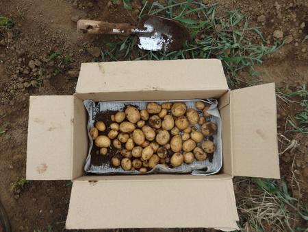 グリーンの会の畑のジャガイモが収穫時期をむかえました!