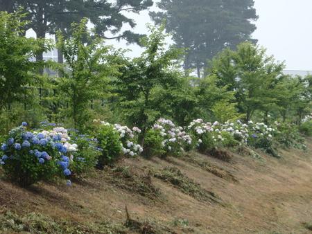 【朗報!】雑草が刈り取られ調整池アジサイがとってもきれいです!