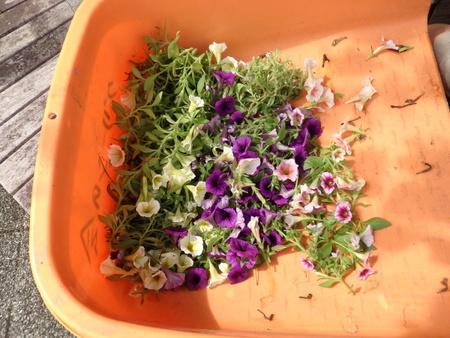 可哀想だけどもっと咲かせるため花を切り取りました!