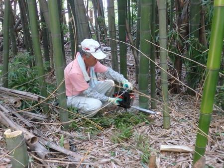 トワイライト音楽祭で飾る竹灯ろうに使う竹を伐採しました!