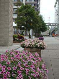 イーアスや研究学園駅前のペチュニアが華やかです!