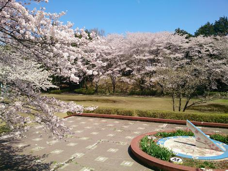 ψ お花見@桜運動公園