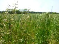休耕畑の麦