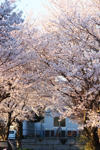 近所の桜も満開で