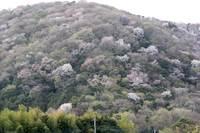 桜川「高峯山、雨巻山」の山桜が開花! 4.17