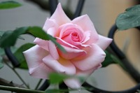 薔薇が咲き出しました♪