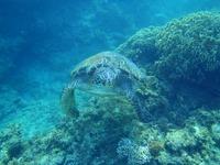 ウミガメと泳ぎたい!!