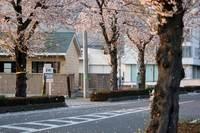 桜吹雪。。