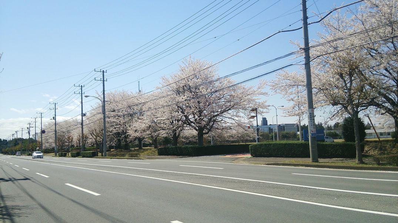 インテル 桜 花見