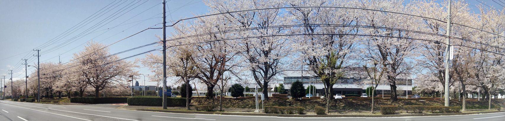 つくば 桜特集2014 インテルの桜 その2
