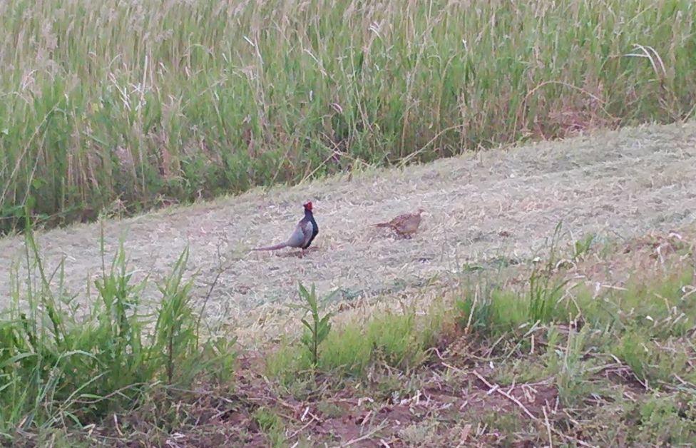 研究学園 調整池でキジのつがいを発見!