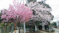 研究学園 きれいな桜を発見した!!