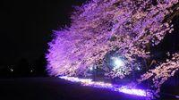研究学園 ウシオライティングの桜ライトアップが幻想的過ぎる!!