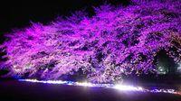 研究学園 ウシオライティングの桜の様子