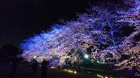 幻想的な桜! ウシオライティングの桜ライトアップ2017!