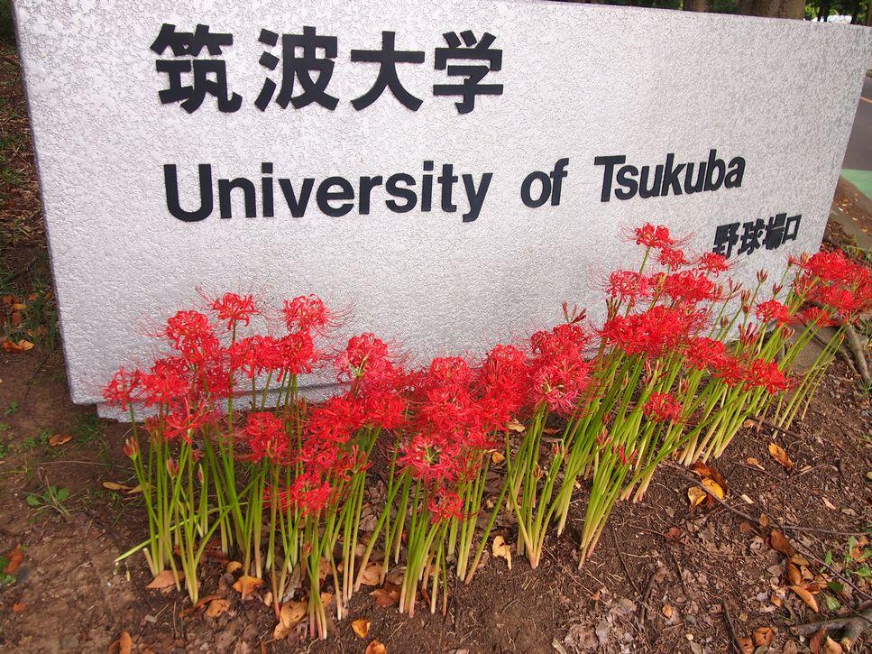 つくば 筑波大学 野球場口の彼岸花