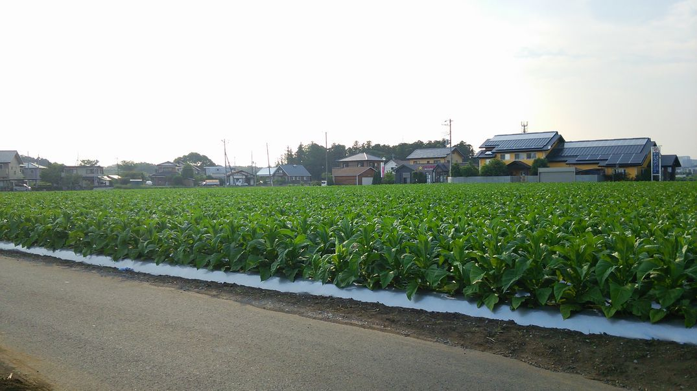 つくば タバコ畑 ここにあり! 2014