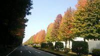 つくば 408の街路樹がきれいに紅葉してきた!