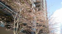 研究学園 桜の開花宣言出して良いと思います!