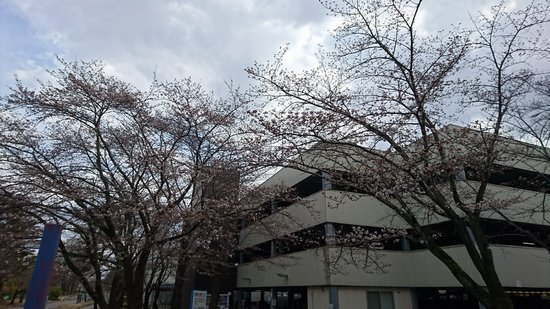 つくばの桜は三分咲きぐらいかな。