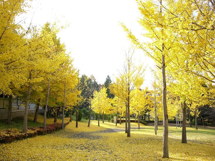 つくば市、紅葉、公園、黄色