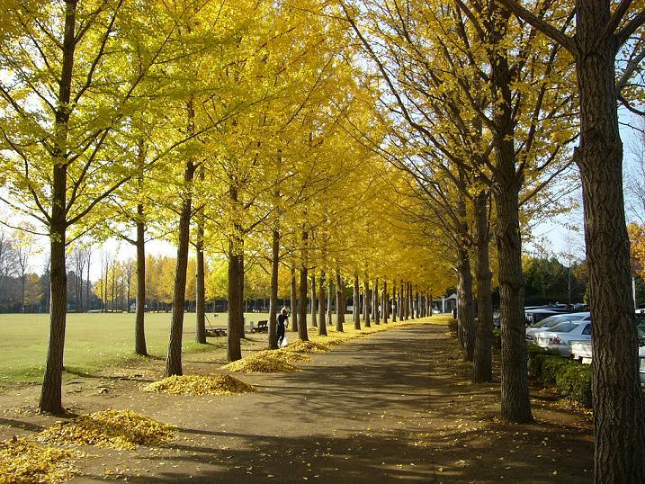 うわさのつくば市 万博記念公園 イチョウの紅葉 その7
