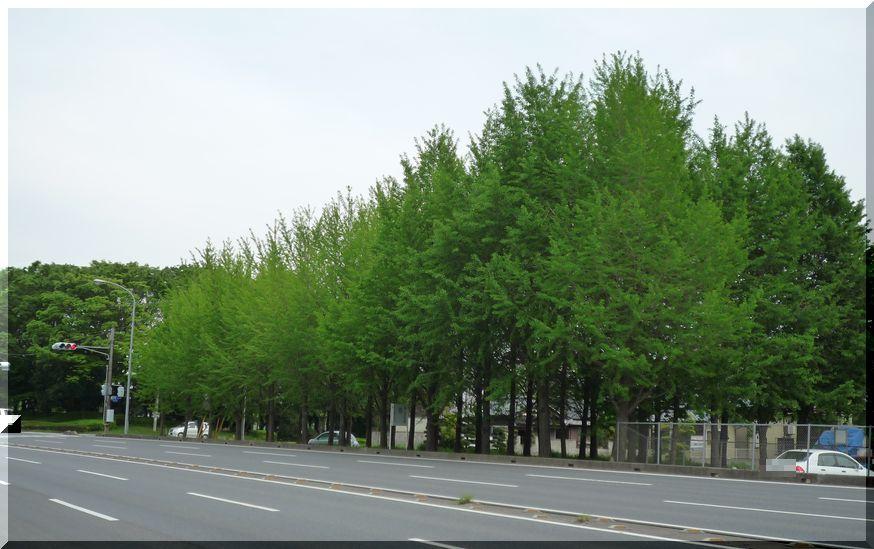 研究学園(つくば新都心) 新緑のイチョウ 自動車研究所前
