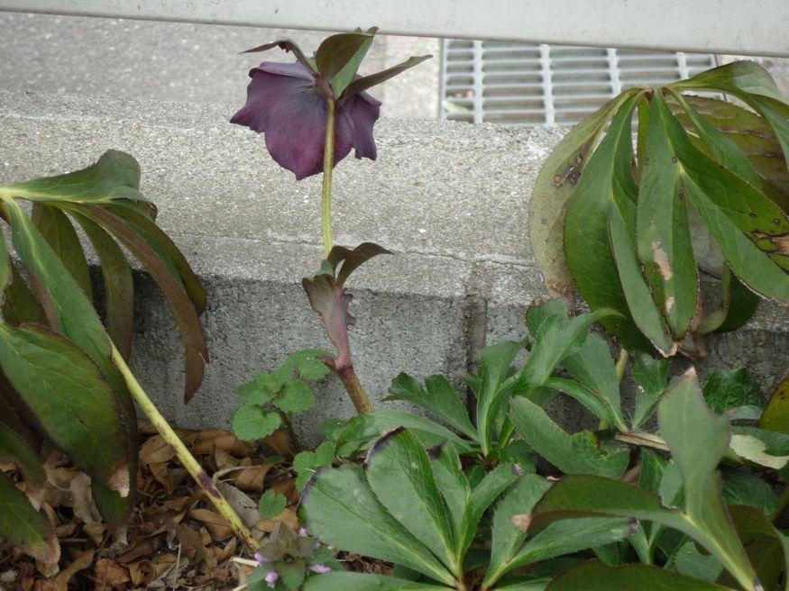 研究学園 春の息吹 クリスマスローズが咲きました2011