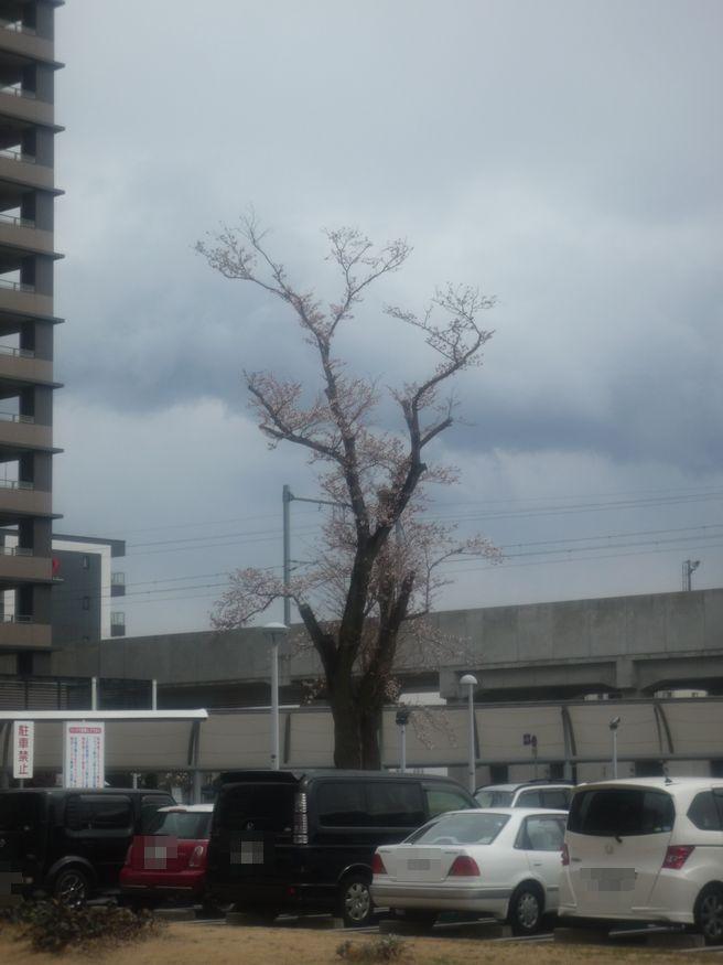桜特集 2012 研究学園駅前の桜