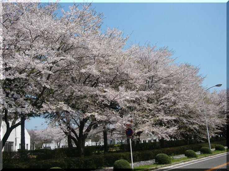 つくば 農林団地の桜 その2  「つくば桜スポット2009」