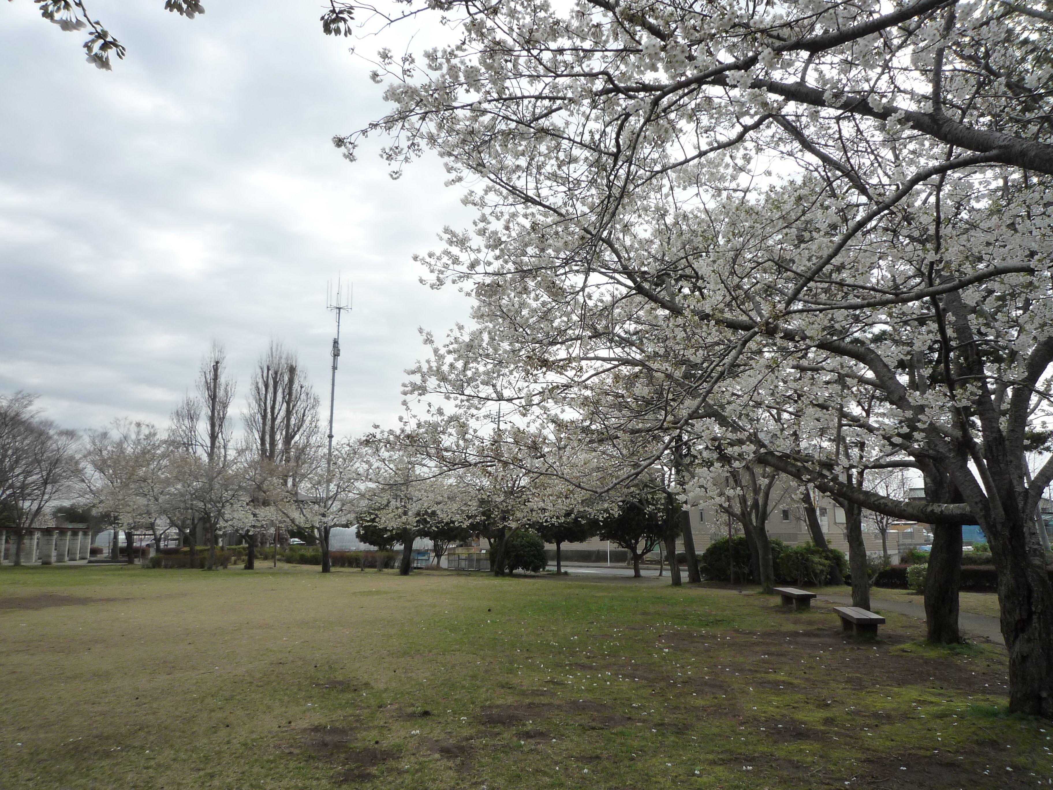 桜特集 2010 つくば市 松代の公園