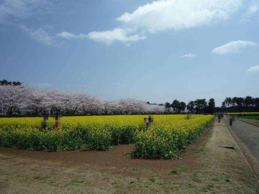 桜特集 2010 農林団地 桜と菜の花が映えますね