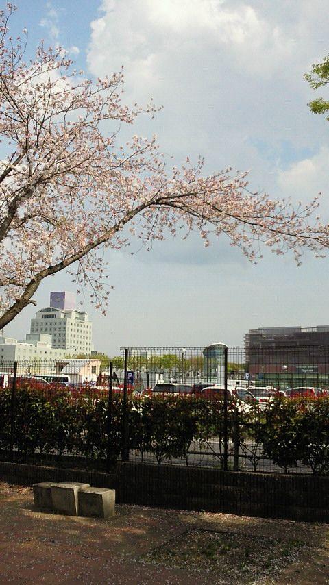 つくば 吾妻小学校脇の桜 つくば桜スポット2011