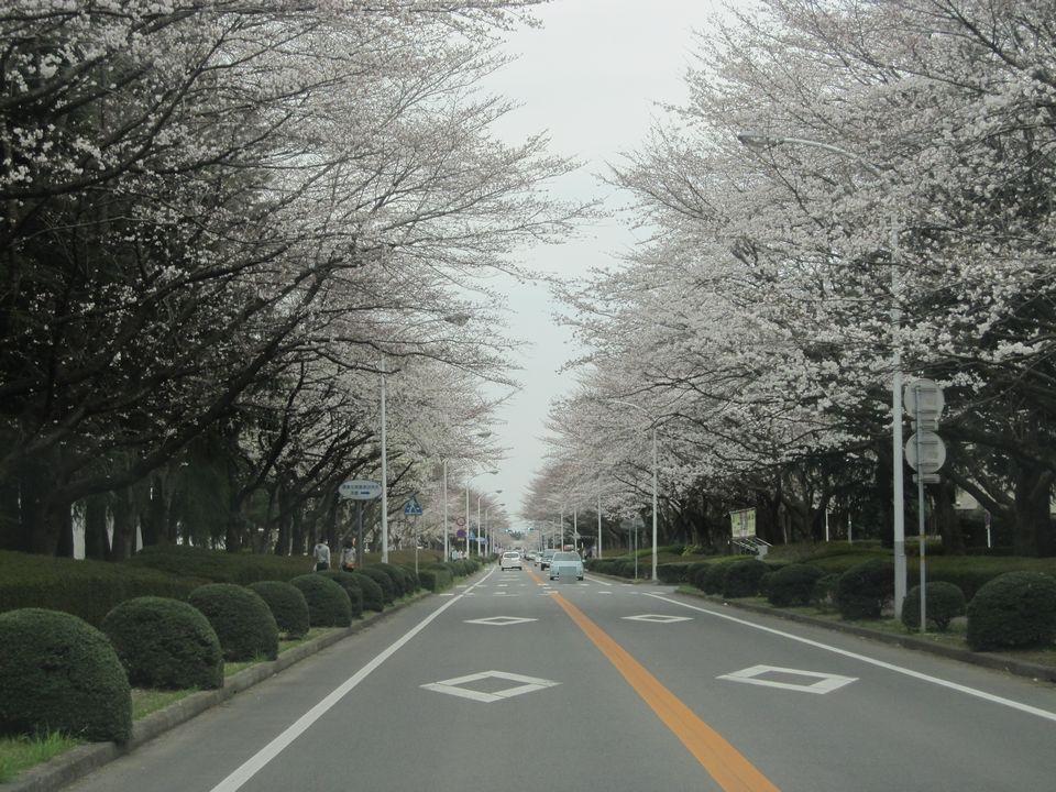 桜 農林団地 花見 つくば
