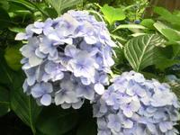 紫陽花と甘茶