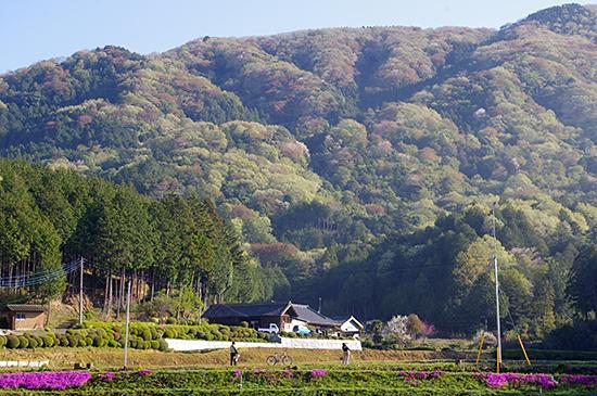 桜川のさくら
