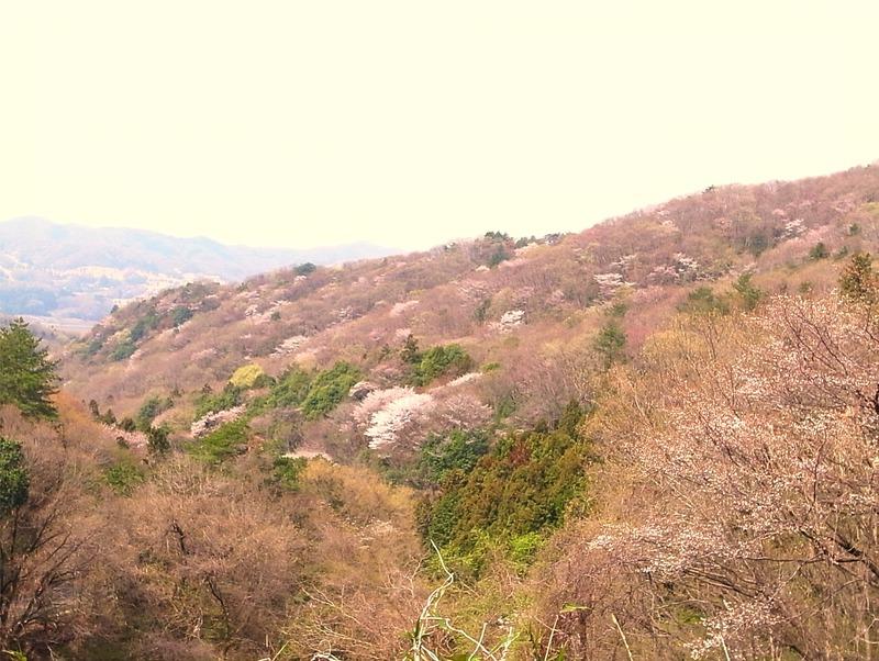 桜川市に桜がワシワシ
