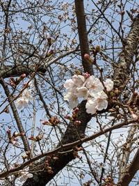 桜、開花♪ & paypay使えるようになりました♪