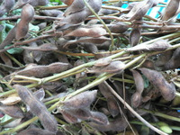大豆収穫^^