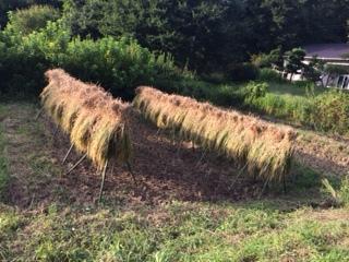 稲刈り&脱穀作業