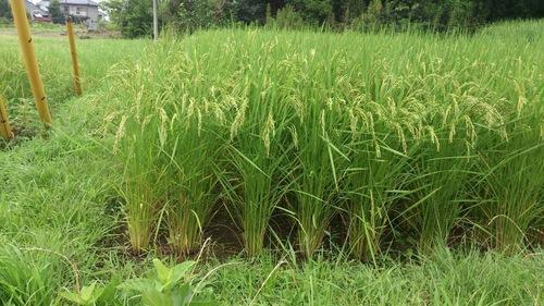 稲成長期5