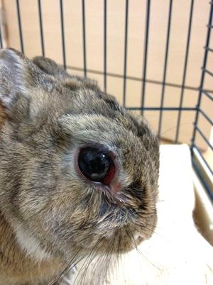 のん太 うさぎの眼の膜の腫れ